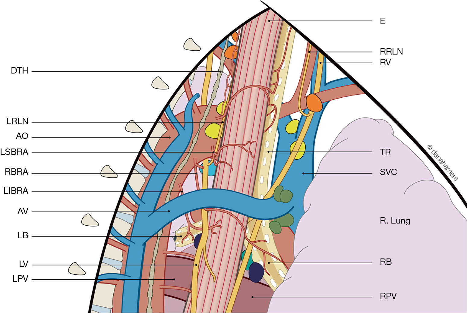 New Insights Into The Surgical Anatomy Of The Esophagus Weijs