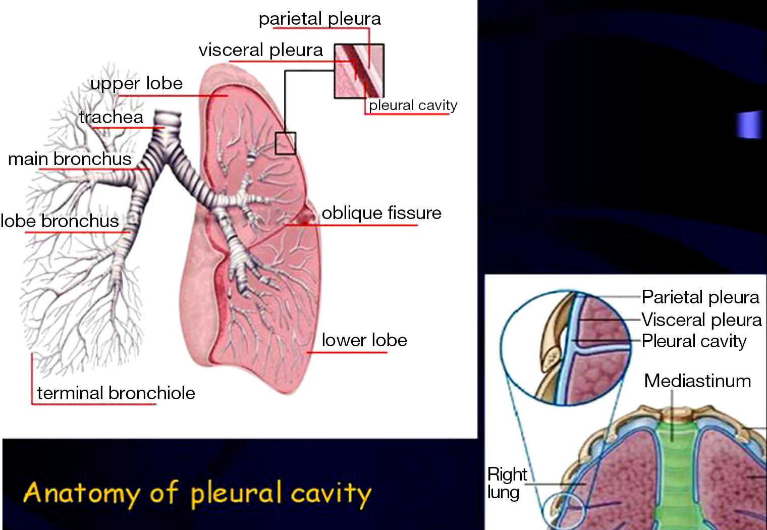 Pleura Space Anatomy Charalampidis Journal Of Thoracic Disease